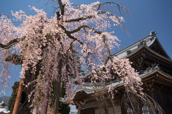 000 桜200075_1090193899_138large.jpg